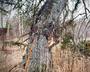 Storm damage to tree